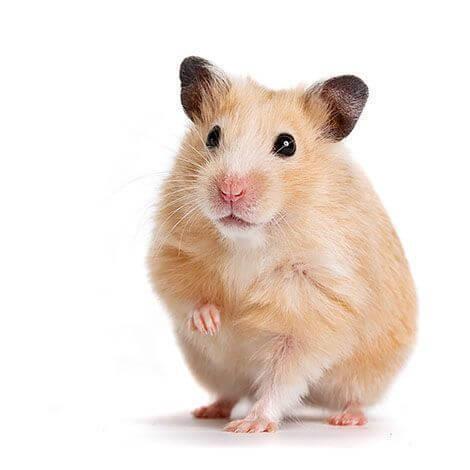Hamster sirio o dorado