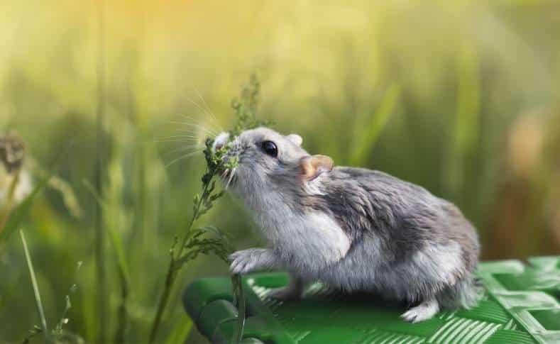 ¿Que Plantas y Flores pueden comer los Hámsters