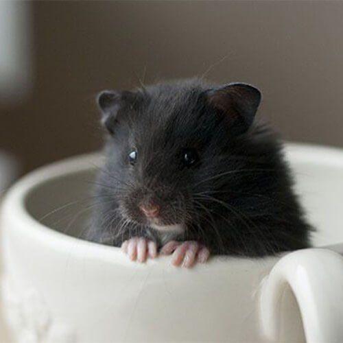 Hamster Oso negro
